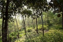 Rubber trees on the estate