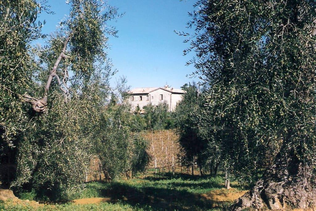 Matrimonio Tra Gli Ulivi Toscana : Quot il colombaio vacanze tra gli ulivi appartamenti in