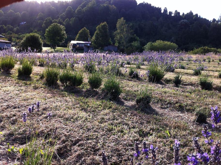 Campo de lavandas. Se cosecha en marzo