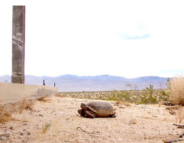 Desert tortoises live in the area and sometimes come by the cabin to see if humans are getting any smarter.