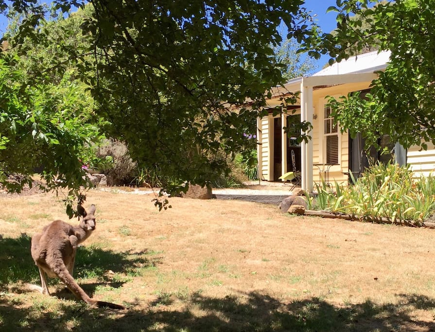 Kangaroos sometimes hop around the gardens immediately outside (summer photo)