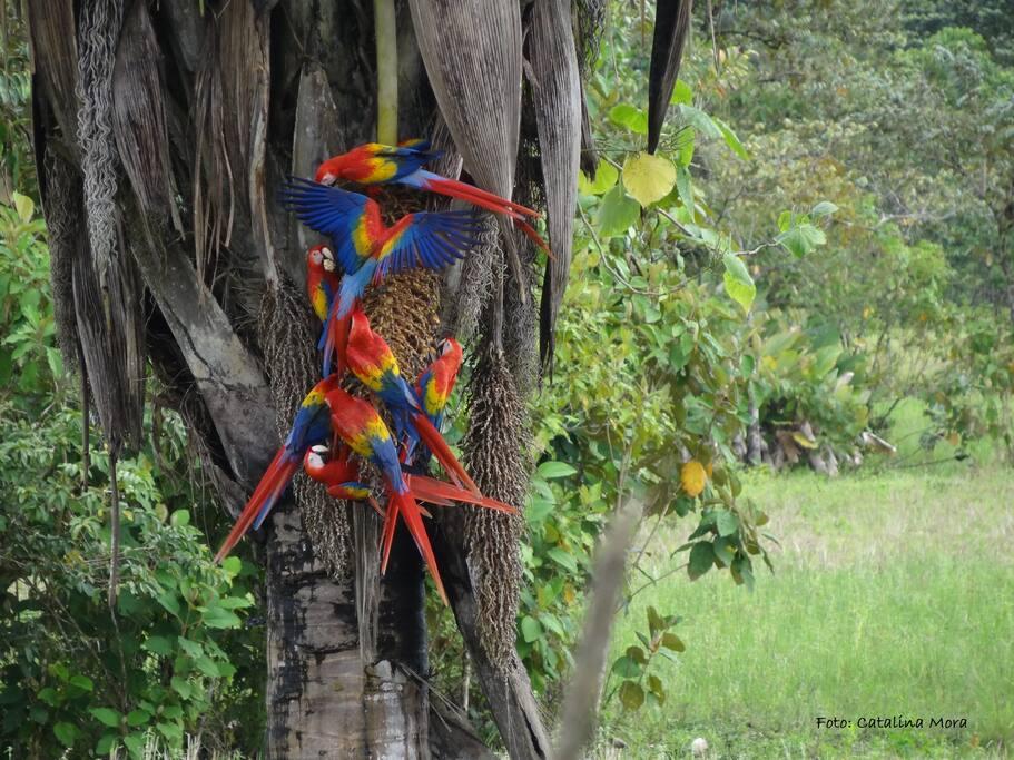 En la Península de Osa contamos con alrededor de 400 especies de Aves para su observación