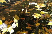 May 2019 - Fallen wisteria leaves provide a rich environment for Pobblebonk tadpoles