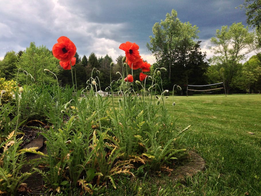 Poppies in the backyard