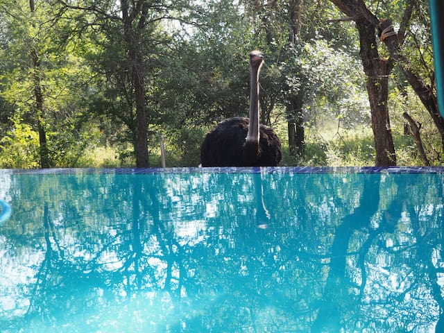 Ostrich going for a dive..:)