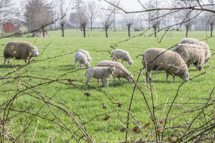 Landelijk met schapen voor de deur.
