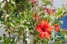 The hibiscus of the garden