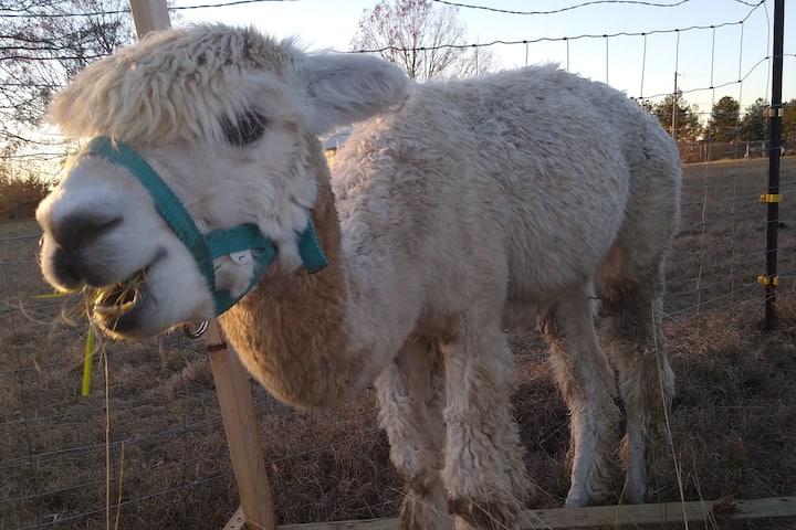 Farm Campsite Under stars with Alpaca Encounter
