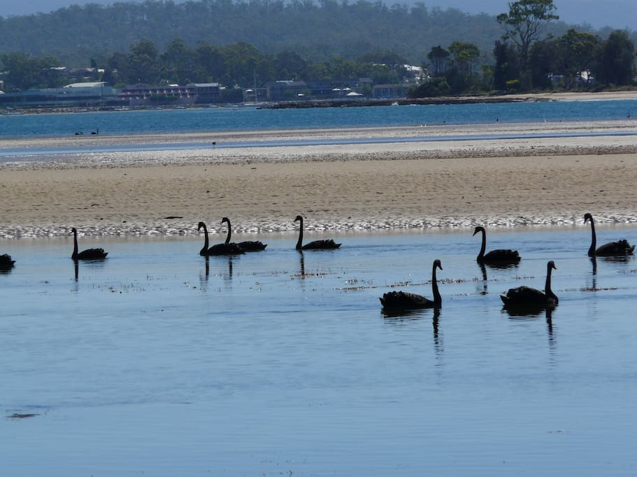 Black swans on Cullundulla Creek