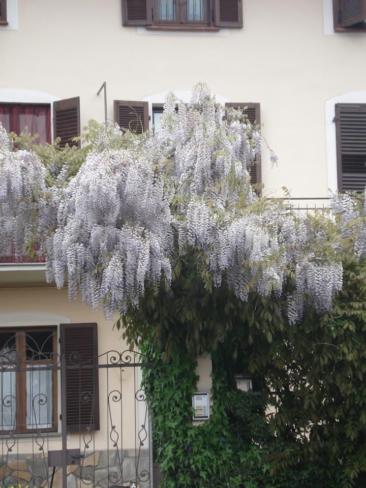 Wisteria, near Turin