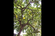 The courtyard. The lemon tree's fruits