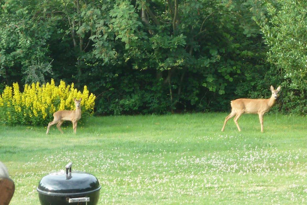 Meet Bambi in the garden.