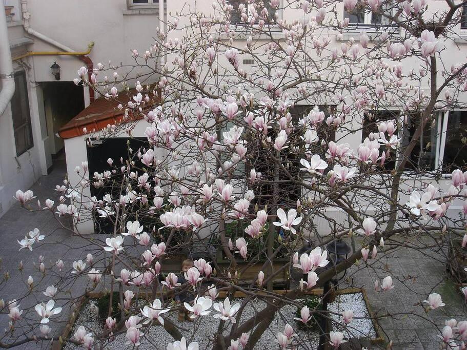 superbe magnolia dans la cour
