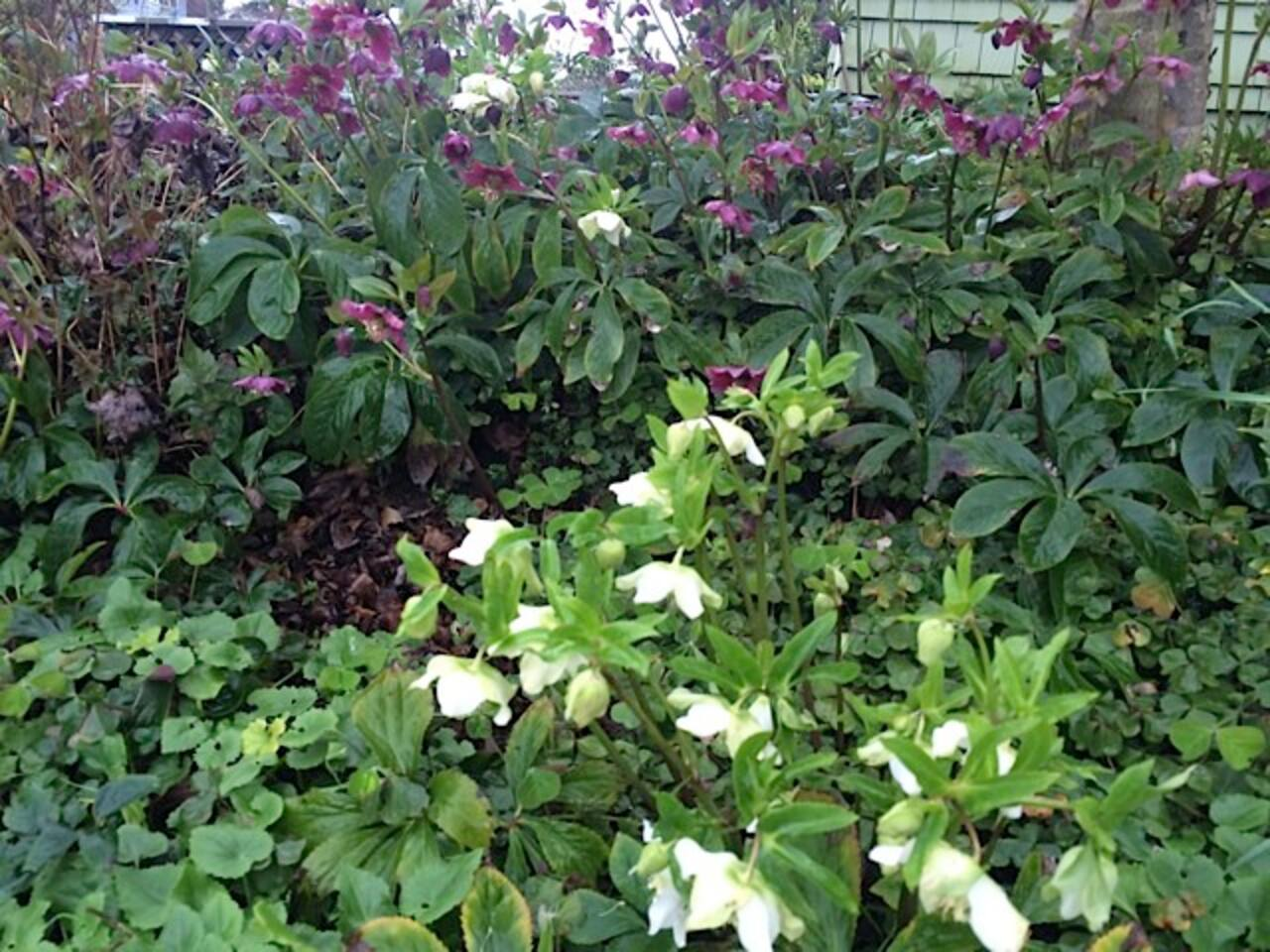Hundreds of Hellebore blooms in the winter