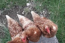 our hens relax in in the sun