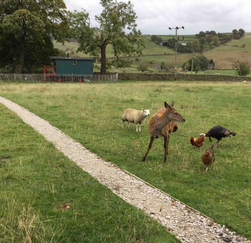 Pet deer, chickens, turkey and sheep in the field adjacent