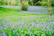 Bluebells in the meadow.