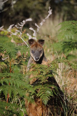 Shy Red-necked Wallaby
