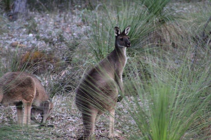 Kangaroo Crossing Hovea Mundaring. Perth hills.