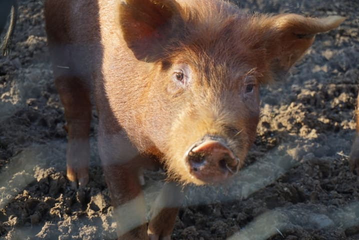 Our heritage pigs are raised on wild forage, lacto fermented feed,  kitchen scraps, and non - GMO feed, resulting in top notch bacon, sausage and ham.