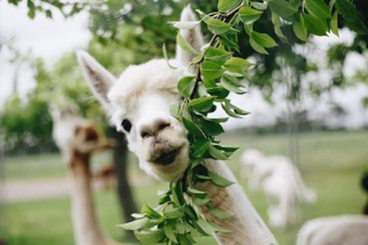 Alpaca Farm Retreat