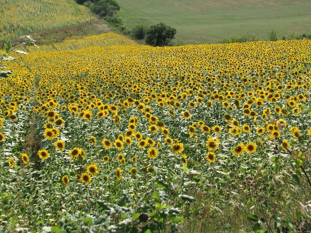 La Fornacina can be surrounded by Sunflowers fields during the summertime