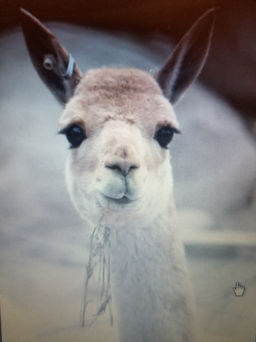 Alpaca, our greeters when we're not home to!
