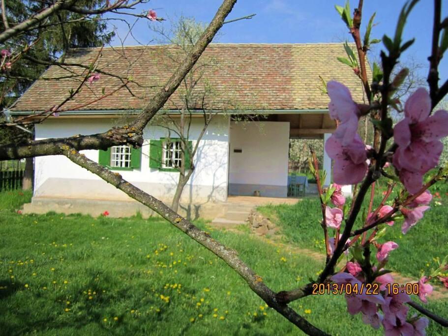 Frühling, die Pfirsiche blüht