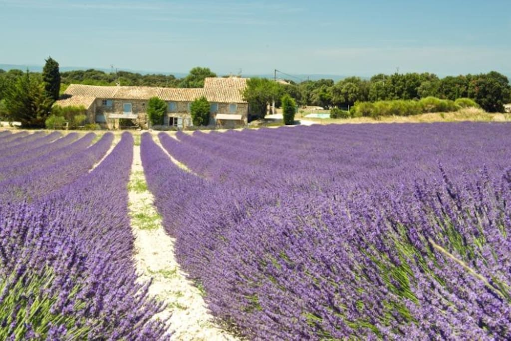 Surrounded by the lavender fields in June and July