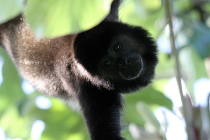 Howler monkey just upfront