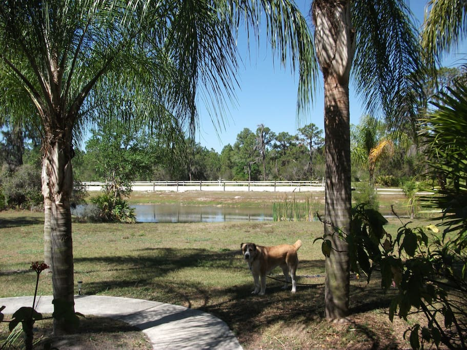 View from front porch of pond with resident dog Thor.