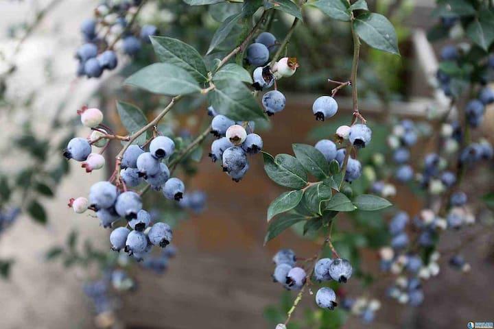蓝莓园旁边的小屋