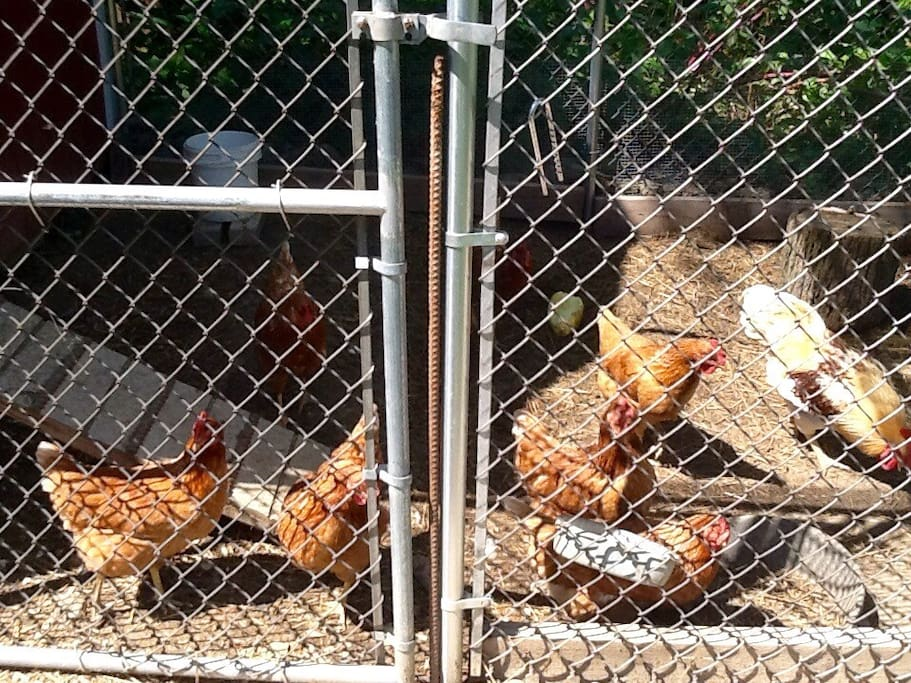 Yes we have chickens. 12 hens and 1 rooster that give us fresh eggs everyday