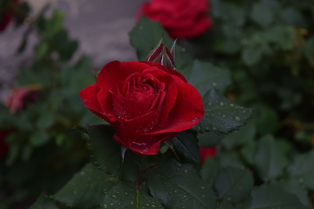 The Rose in the Garden
