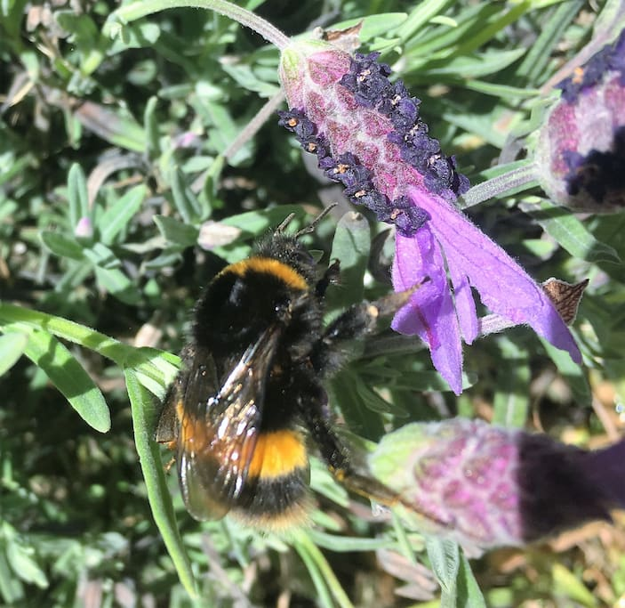 Bumble bees on the Lavender