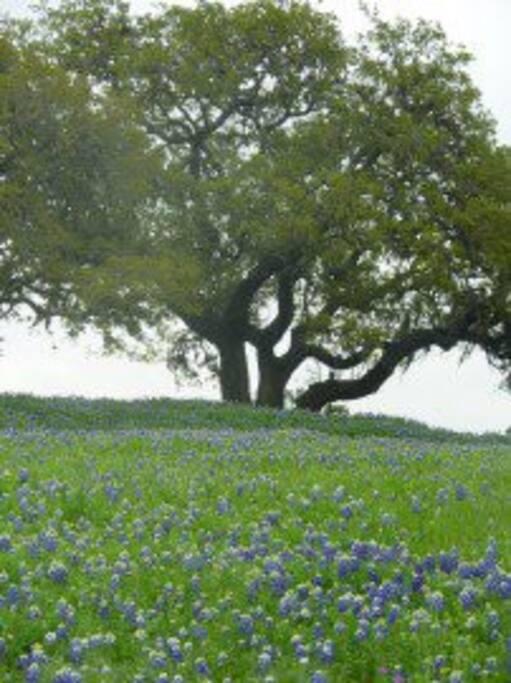 Spring Bluebonnets on 7 acres w/ large Live Oak trees