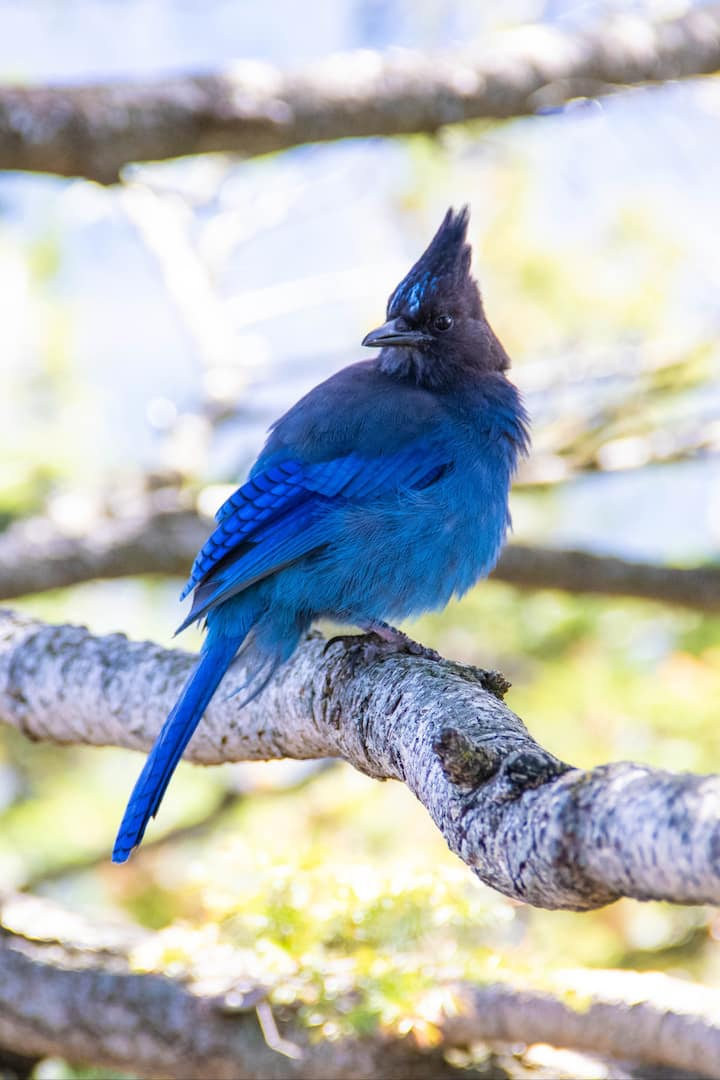Resident Stellers Jay on Beacon Rock