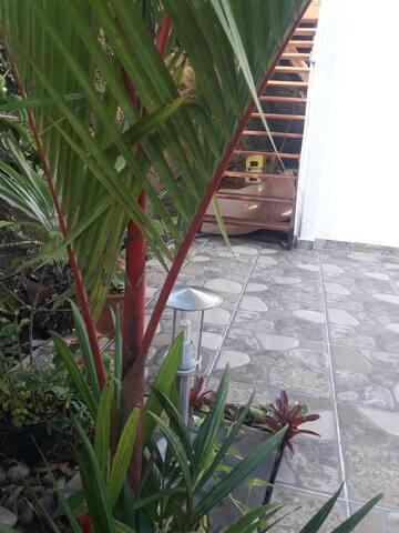 """Les palmiers décoratifs """"palmier à tronc rouge"""""""