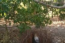 Bower under the lemon tree