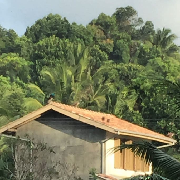 Skylight House is nestled at the foot of a low hill surrounded by lush greenery and mature trees, looking onto the wide expanse of paddy beyond. Look closely and spot the peacock.