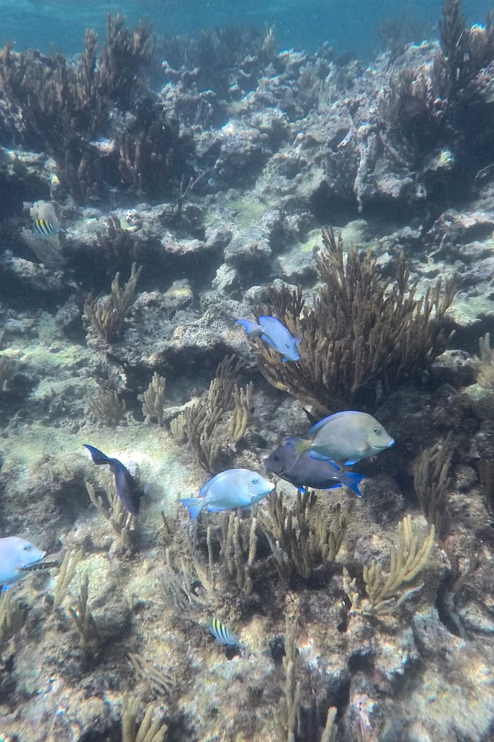 Blue Tangs Fish