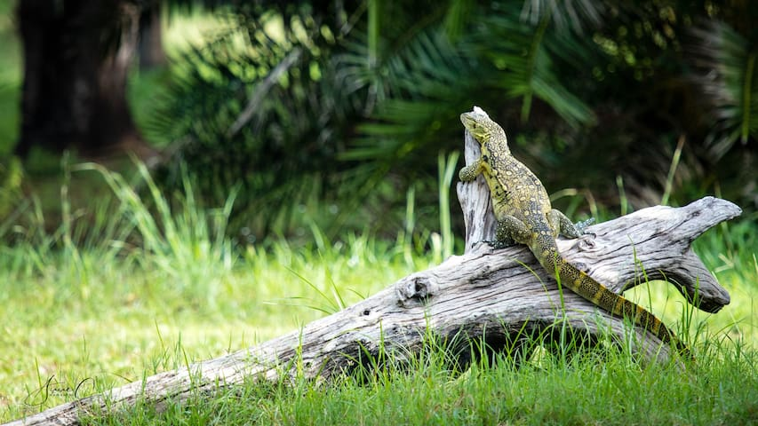 A lonely Monitor lizard in our garden.