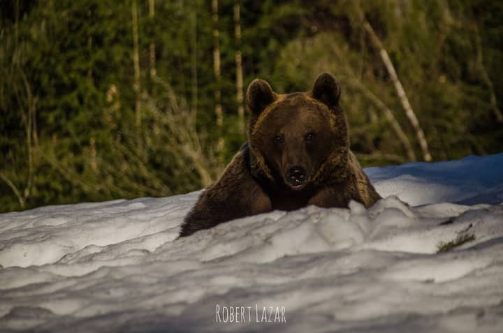 Big brown bear resting