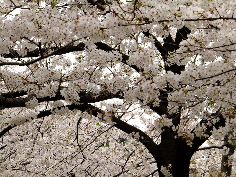 Cherry blossom at the nearby Kanda gawa