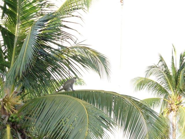 Monkeys sitting on Coconut trees in the garden.