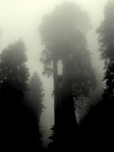 ~ The Giant Sequoias' Forest ~      - Camp Nelson