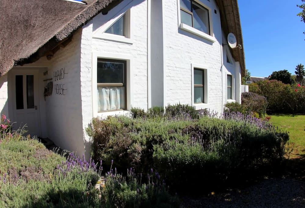 Beautiful lavender bushes welcome you on arrival