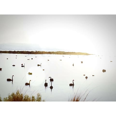Some of the 4,000 black swans that visit Swan Bay every year.  A 'feast' for the camera or bird enthusiast and for the swans, feasting on sea-grasses.