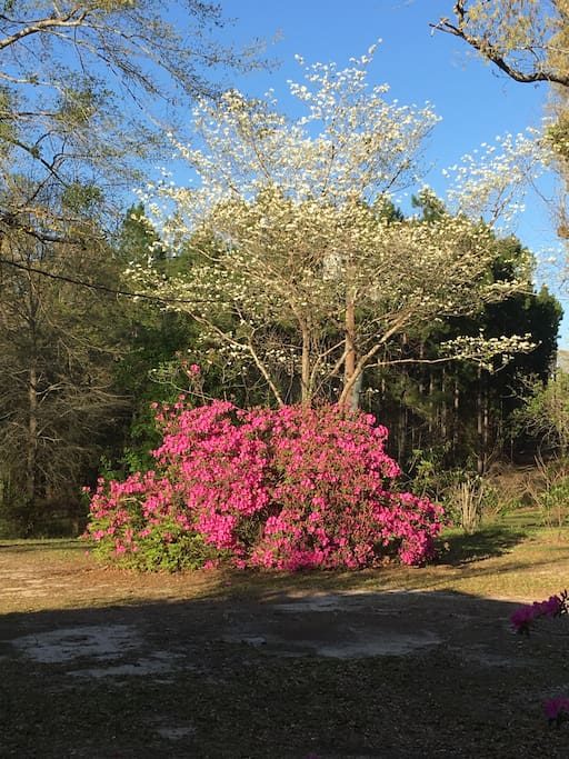 Dogwoods & Azaleas in the back of the house.
