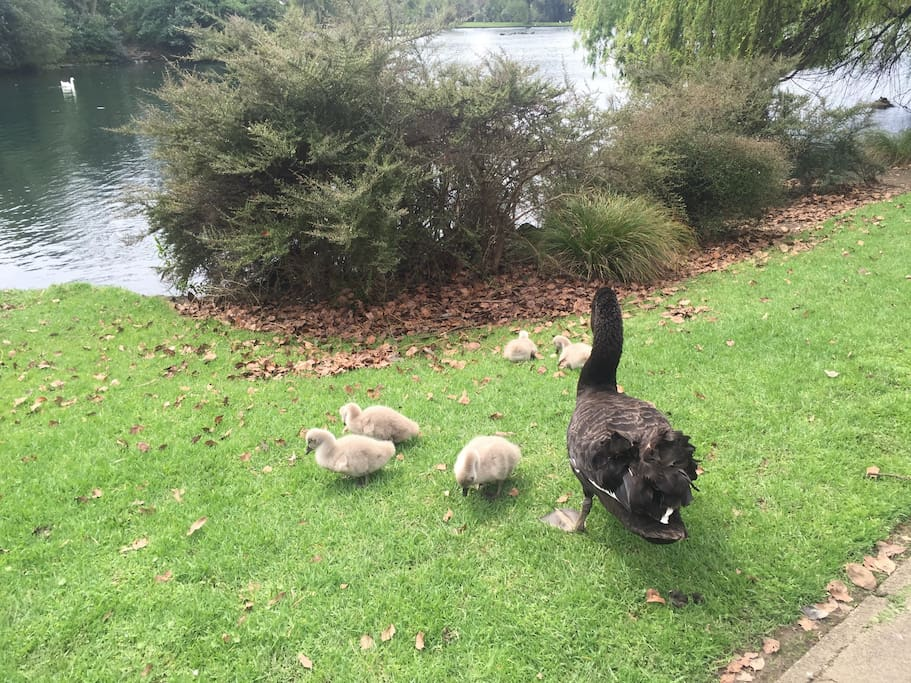 Photo taken in October. Baby swans at our nearby lake. Great bird photography at the moment. Lovely for walking.